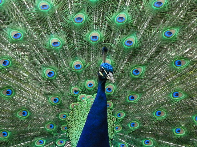 640px-Peacock_at_Warwick_Castle